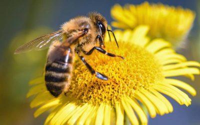 La importancia de las abejas para el medioambiente